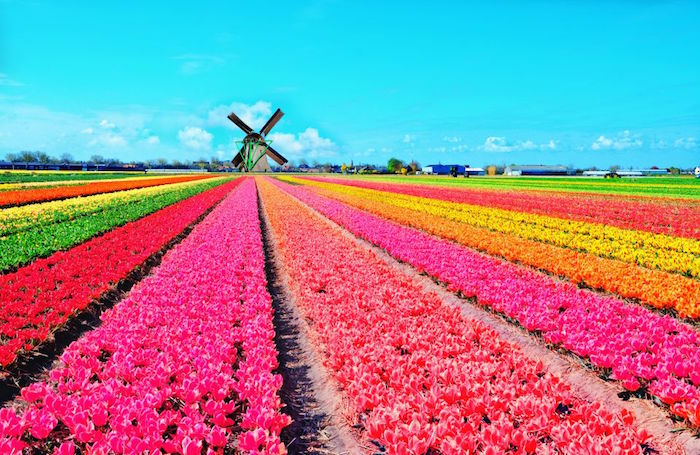 halal friendly city in the world - amsterdam tulip fields