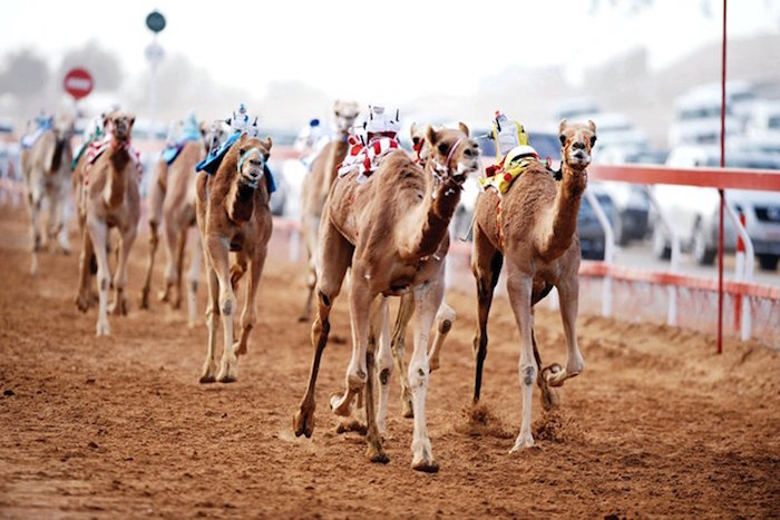 Muslim friendly things to do in Dubai - Camel racing